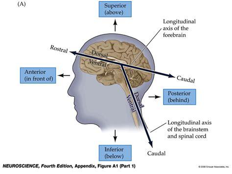 Rostral Definition Anatomy