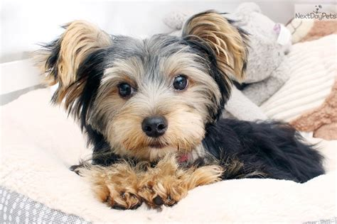 teacup yorkie for sale near me terrier yorkie puppy for sale near los angeles california 81f26186 fe01