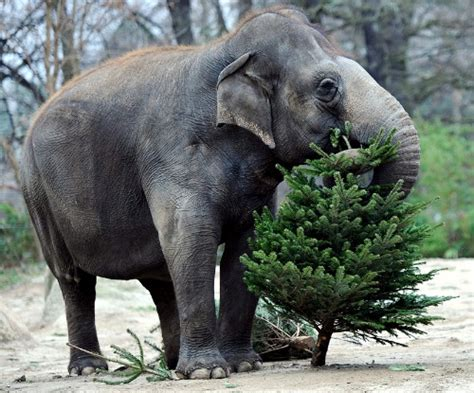 images of christmas elephants elephant christmas tree recycling content in a cottage