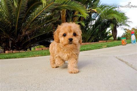 cavapoo puppies california cavapoo puppy for sale near san diego california 53ca85cc 7fb1