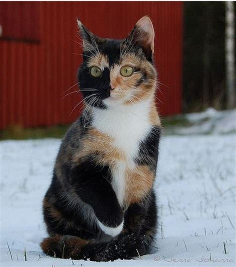 why are calico cats always female