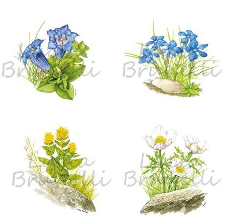 fiore di genziana fiori di genziana gentiana lutea gentiana dinarica