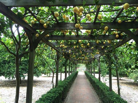 types espalier lemon trees wallpaper cool hd