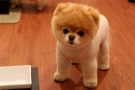 how to do a cut on a pomeranian pomeranians the breed guide thehappypooch