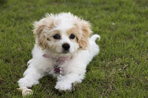 cavachon dogs don t miss tips on grooming and daily care for cavachon