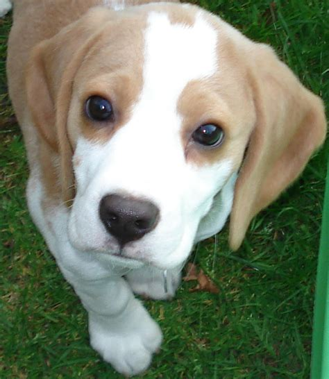 beagle puppy file beagle puppy jpg