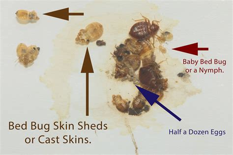 Do Bed Bugs Shed Casings by Bed Bugs Shedding Skin Pictures Clipartsgram