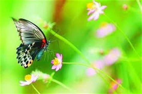 koleksi wallpaper gambar kupu kupu