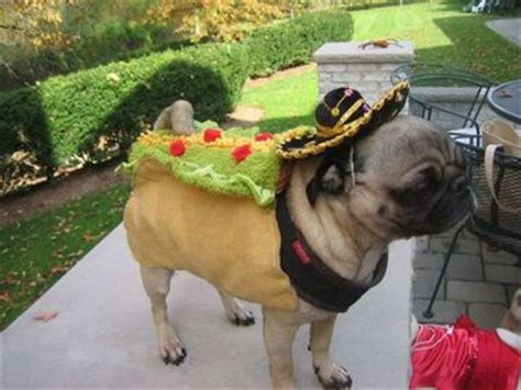 pugs in nj pug in a taco costume at target northern new jersey pug extravaganza ramsey