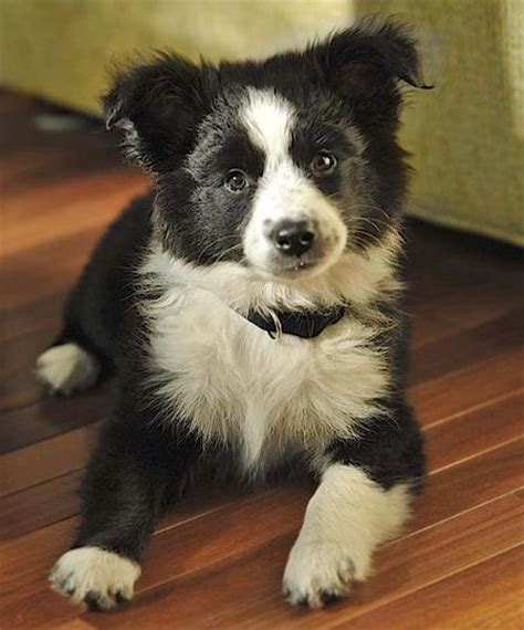 australian shepherd puppies ohio border collie australian shepherd mix puppies for sale in ohio