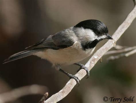 carolina chickadee species information and photos