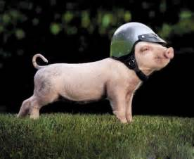 funny pigs pets cute docile