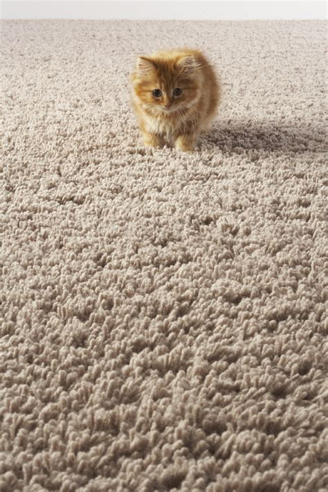 urine carpet urine damage odor carpet cleaning n cleanpeaches n clean