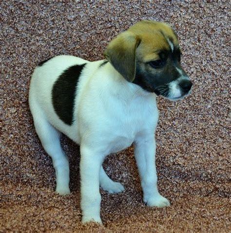 rat terrier puppies for adoption 25 best ideas about rat terrier dogs on rat terriers rat terrier puppies