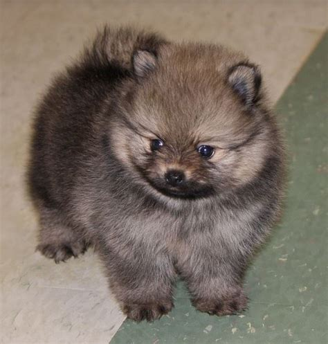 pomeranian teacup teddy cut teacup teddy pomeranian puppy in greyish brown with coat of fur underneat jpg