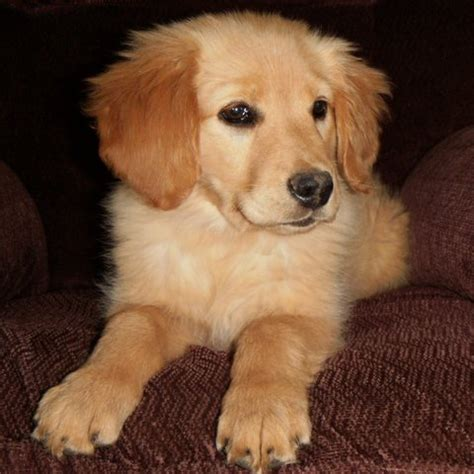 golden retriever puppies purebred purebred golden retriever dogs in our photo