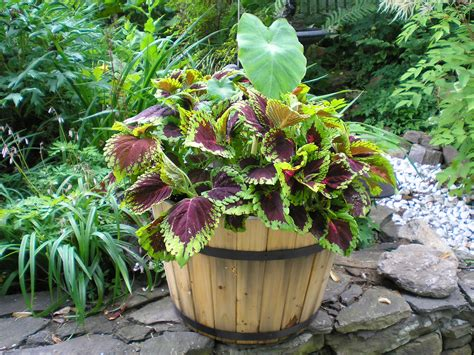 self watering container and coleus planter growth