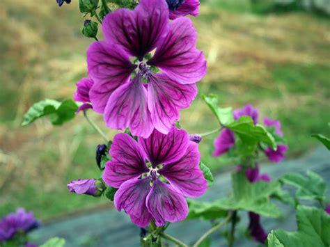 fiore di malva l erbario di b 233 temps vda mon amour
