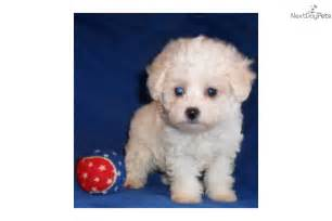 maltipoo puppies for sale ohio maltipoo puppies for sale in ohio buy or adopt a puppy willy malti poo maltipoo puppy