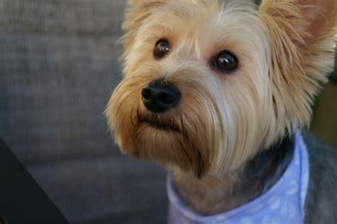 silky puppies australian silky terrier puppy dogs silky terrier