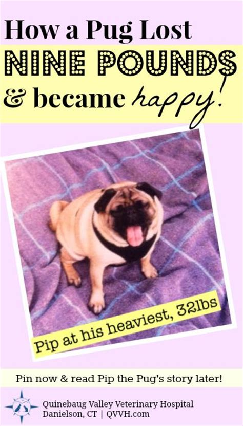 pug weight loss 13 best images about pet fitness weight management on cats for dogs and