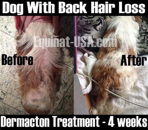 shih tzu dermatitis 126 best treatment canine dermatitis images on