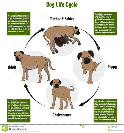 cycle of a puppy cycle diagram stock vector illustration of ecology 92204860