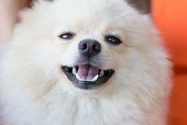 pomeranian teeth problems dental care an owner s guide