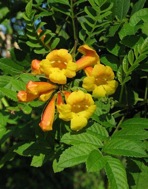 wild plants of malta gozo plant tecoma stans yellow trumpet flower