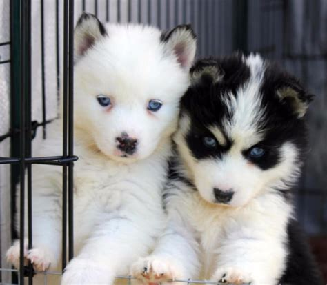pomskies puppies pomsky a complete guide on the husky pomeranian mix