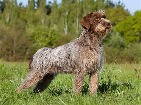 pointing griffon puppy wirehaired pointing griffon pictures