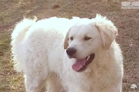 kuvasz puppies puppies for sale from glacier creek kuvasz nextdaypets