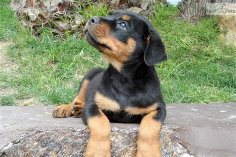 puppy rottweiler for sale near me rottweiler puppy for sale near san diego california e4a45aaf c551