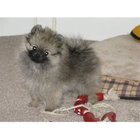 pomeranian rescue colorado pomeranian breeders in the uk freedoglistings uk