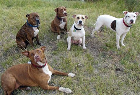 adoption boise rescue spotlight boise bully breed rescue stubbydog