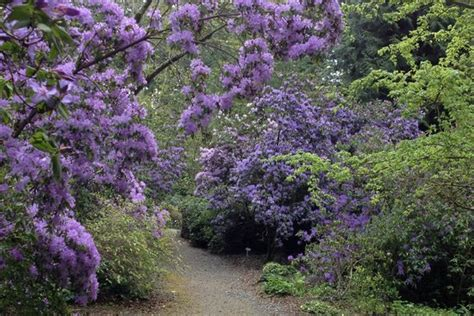 rhododendron species botanical garden picture of