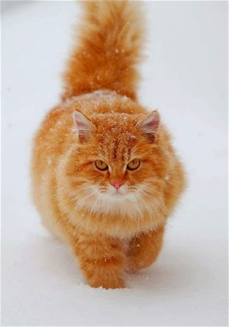 сибирский котята фото цена