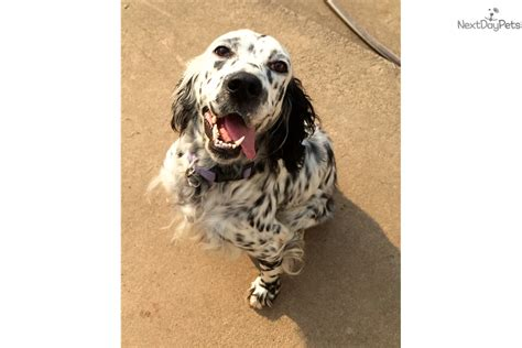 female english setter dog names maggie litter 2 english setter puppy for sale near