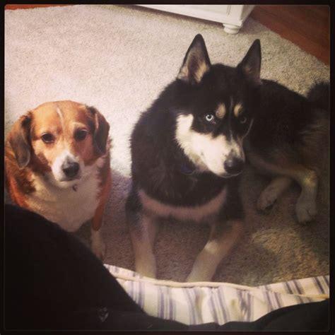 Huskies Turkis beagle and husky my rex