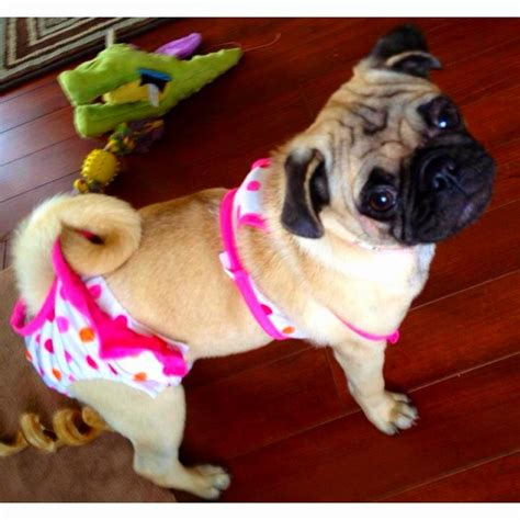 pug bathing suit cutie pug in bathing suit pugs cats and poodles