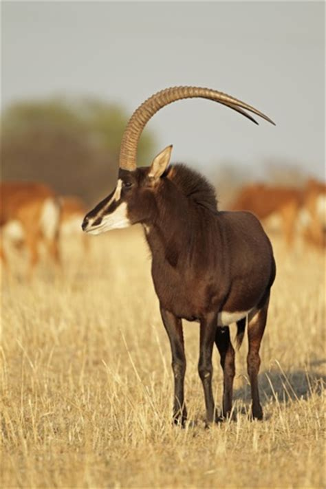 list  african antelope species  awesome facts   animal sake