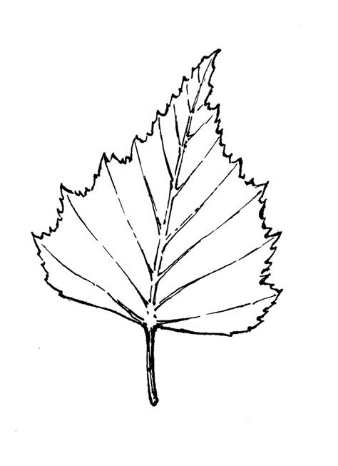 birch leaf coloring page birch leaf outline images pictures becuo az coloring