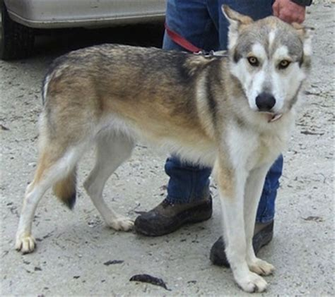 husky type dogs alaskan husky breed information and pictures