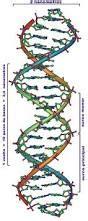 cuantas cadenas de adn tiene un humano el adn monografias