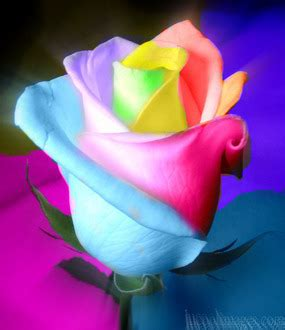 Box A Single Rainbow Multicolor Happy Preserved Flower multicolor rainbow roses a gallery on flickr