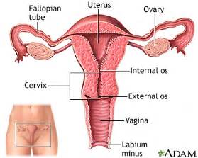 uterus medlineplus encyclopedia image
