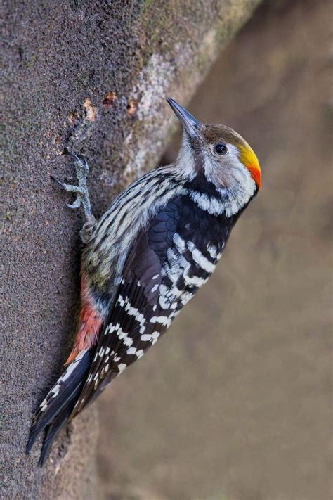 17 best images about just woodpeckers i on pinterest