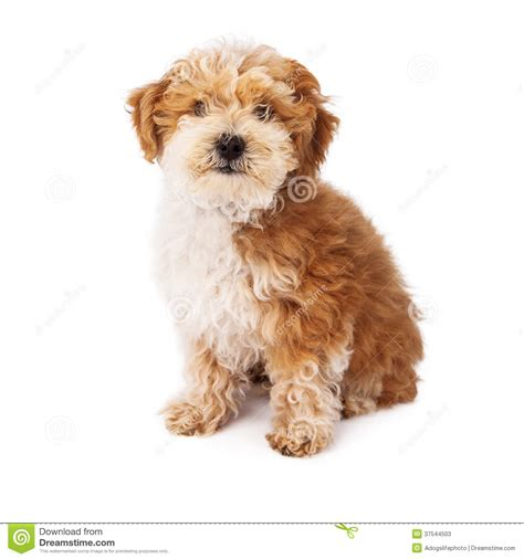 havanese and poodle mix havanese poodle mix stock photos image 37544503