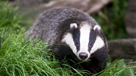 badger cull petition petition 183 george eustice mp stop the badger cull in west