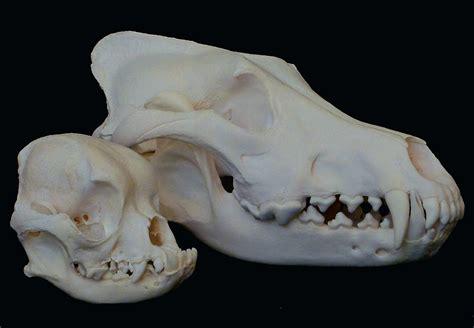 wolf pug pug skull beside wolf skull interestingasfuck